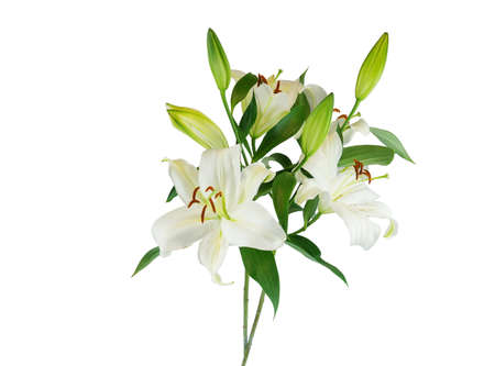 blooming white lily isolated on white background Banco de Imagens