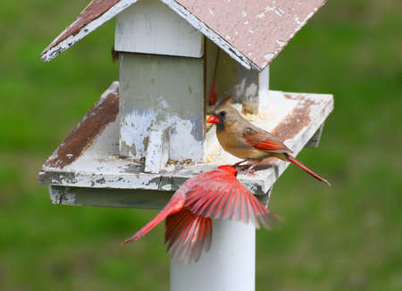 red cardinals eating at bird feed
