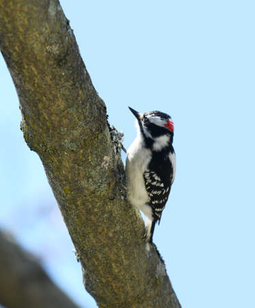 downy woodpecker searching pest on the tree trunk 免版税图像 - 159418520