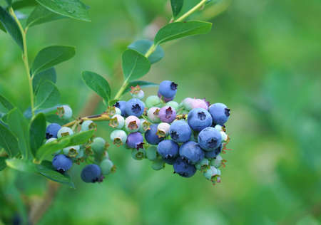 close up on fresh blueberry on the tree 免版税图像