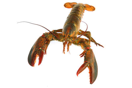 live lobster isolated on white background 免版税图像