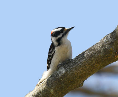 downy woodpecker searching pest on the tree trunk 免版税图像