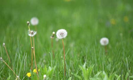 dandelion on green meadow in spring