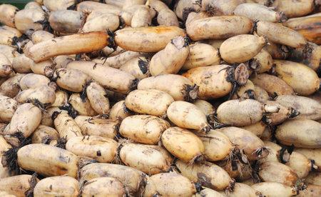 lotus roots in pile in harvest season