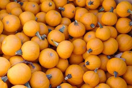 pumpkin harvest in autumn season 免版税图像