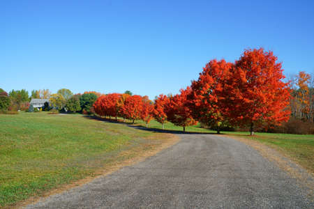 red maple trees in a row along the driveway