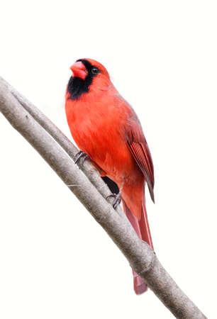 male red cardinal standing on tree branch