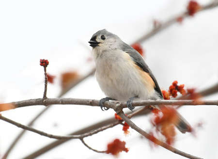 tufted titmouse standing on tree branch in spring Stok Fotoğraf