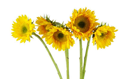 bunch of sunflowers isolated on white background 免版税图像