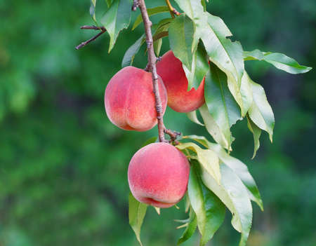 close up on fresh peaches on the branch
