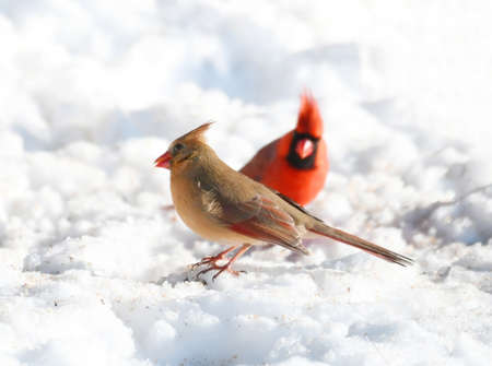 male and female red cardinal in the snow