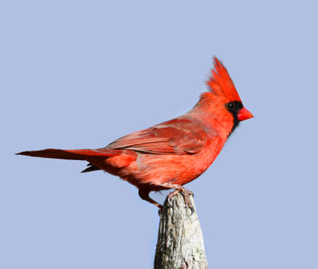 male red cardinal standing on wood fence