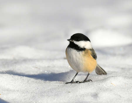 black capped chickadee bird standing on the snow