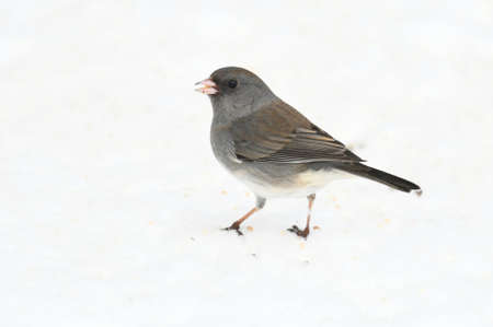 black eyed junco standing on snow covered ground
