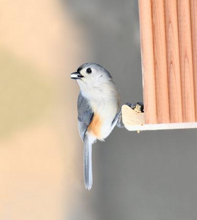 tufted titmouse at the bird feeder