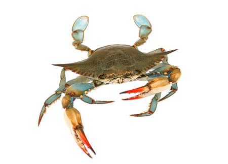 live blue crab isolated on white background
