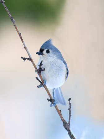 tufted titmouse standing on tree branch in winter snow 免版税图像