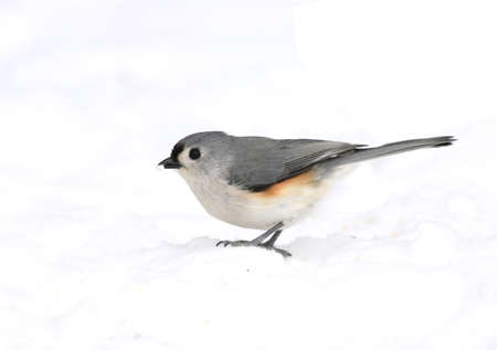 tufted titmouse bird standing on snow covered ground