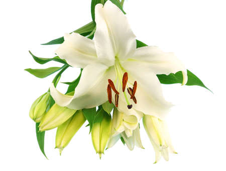 white lily bud in bunch isolated on white background