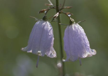 Lady bells