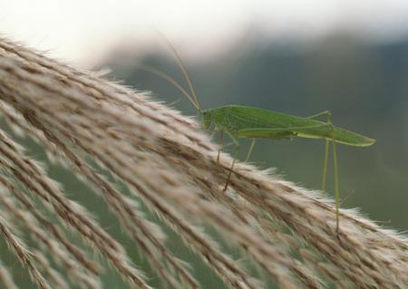 falcata: Katydid and Japanese pampas grass