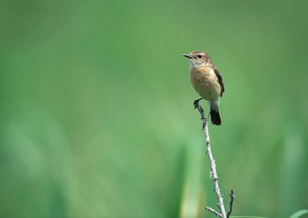 Stonechat LANG_EVOIMAGES