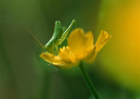 Grasshopper on Flower LANG_EVOIMAGES
