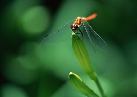 Day Lily and Dragonfly