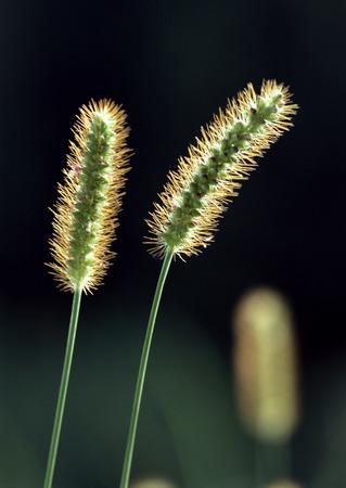 Bristle Grass LANG_EVOIMAGES