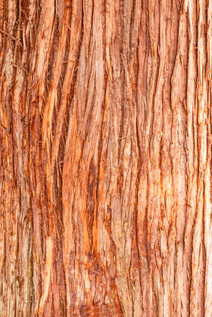 Cedar tree cortex texture. Bark of red cedar tree backdrop