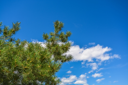 Pine tree branches on clouds and blue sky background
