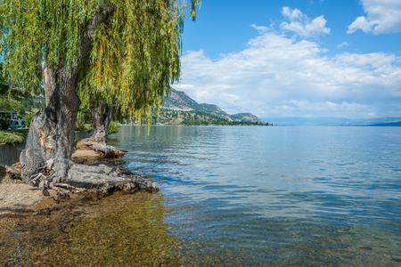Willow tree at Okanagan Lake with beautiful view on the lake and mountains. British Columbia, Canada