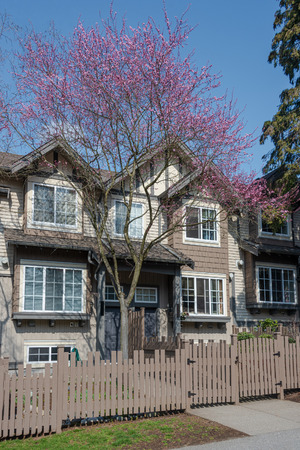 Residential townhouses with blooming cherry tree at the entrance. Townhomes on spring season in Vancouver, Canada