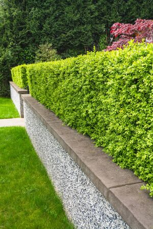 Green hedge fence on land terrace in front of a house. 版權商用圖片