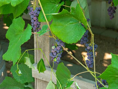 Fascicles red grape growing among the leaves. Vine racemules of red grape. 版權商用圖片
