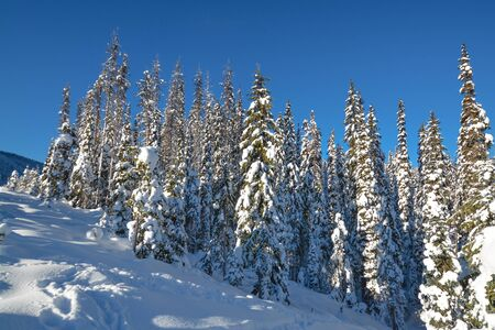 Trees in a snow on a sunny winter day. Winter forest in Manning Park, BC.