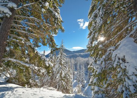 Trees in a snow on a sunny winter day. Winter forest in Manning Park, BC