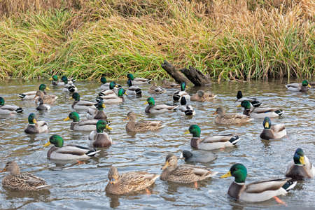 Flock of mallards in wild habitat. Ducks on the lake