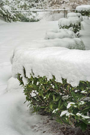Row of green bushes covered in snow.
