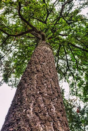 Pine tree cortex texture. Tree bole and foliage on overcast sky background