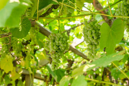 Fascicle green grape growing among the leaves