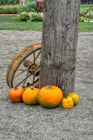 Decorative pumpkins with old rusty tracktor wheel at wooden post