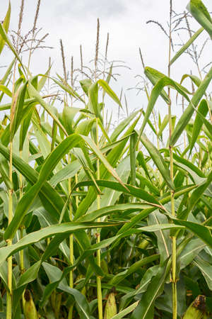 Forage corn plants on overcast sky background