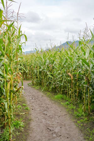 Muddy trail through farmer corn field on cloudy day