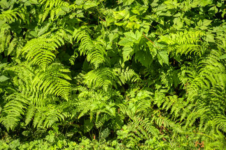 Green leaves backdrop. Natural foliage of fern and blackberry plants