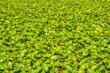 Green leaves of white water lily on a lake water surface 版權商用圖片