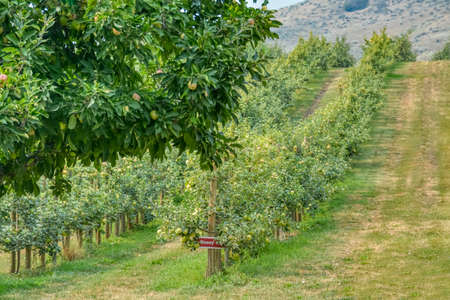 Orchard with apple trees on warm summer day