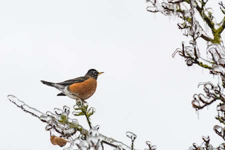 American robin bird on ice covered branch 版權商用圖片