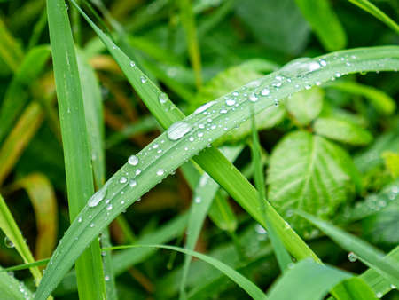 Transparent drops of water on green leaves of grass plant