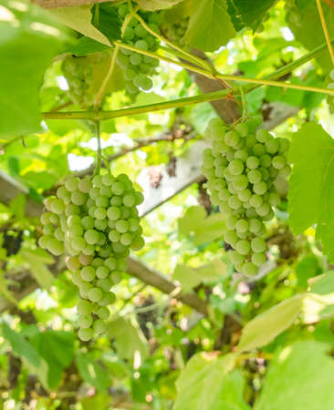 Fascicle of green grape growing among the leaves 版權商用圖片